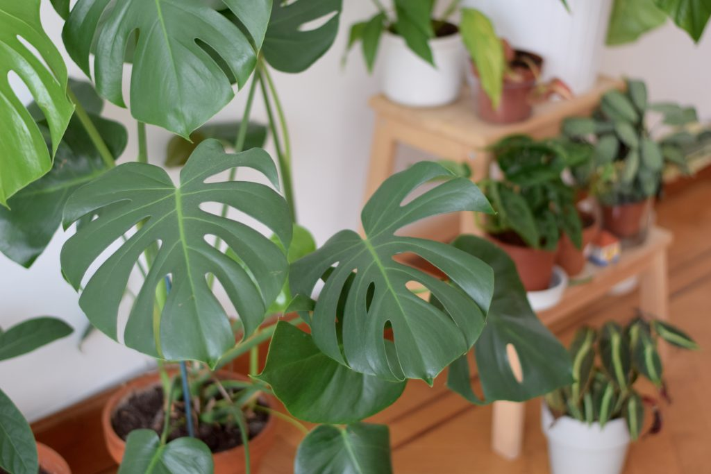 jungle-fever-monstera-deliciosa
