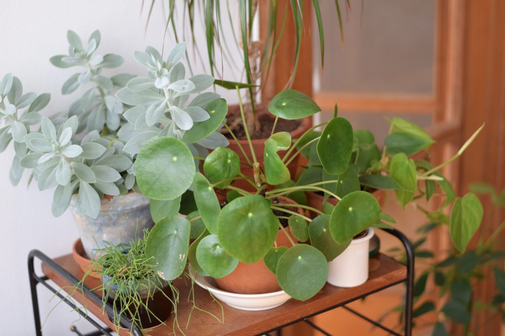 vintage-planten-pannenkoekenplant
