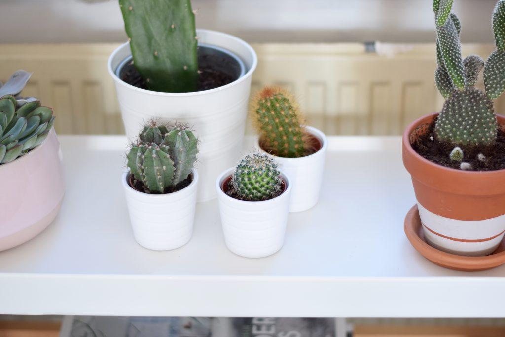 ikea cactaceae planten