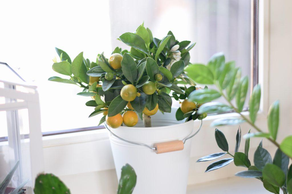ikea citrus potplant
